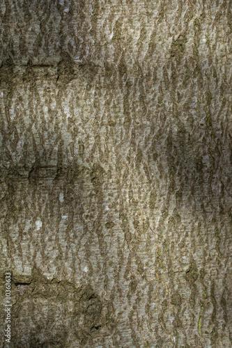 bark of beech tree, background texture