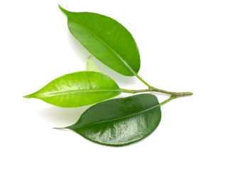 green coca leaves on a white background