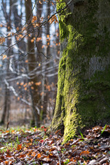 strong trunk of a beech tree covered with moss