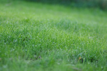 Green grass with water drops.