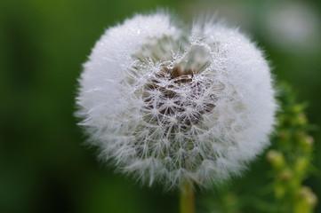 dandelion fuzz swelled drops.