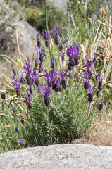 Flowers of Spanish lavender, Lavandula stoechas