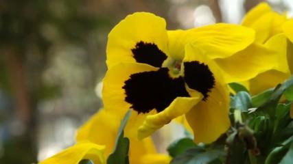 rosa del pensiero, fiore giallo in primo piano mosso dal vento