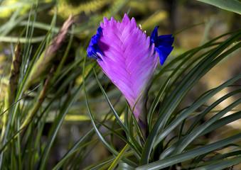 Цветок Вриезия.