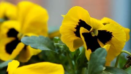 Fiore giallo in primo piano, viola del pensiero mossa dal vento