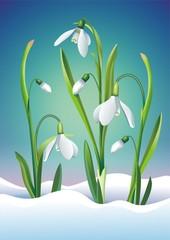 Snowdrop Flowers Illustration