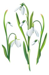 Snowdrop Flowers Isolated