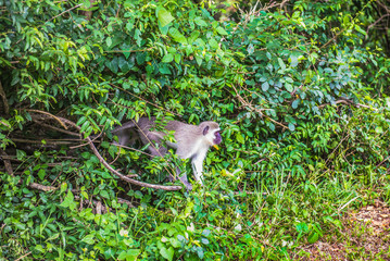 Monkey. South Africa