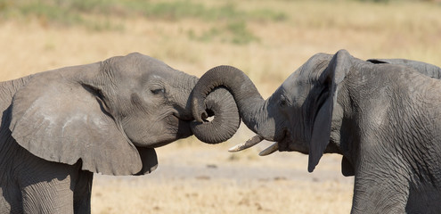 Two elephant greeting at a waterhole to renew relationship