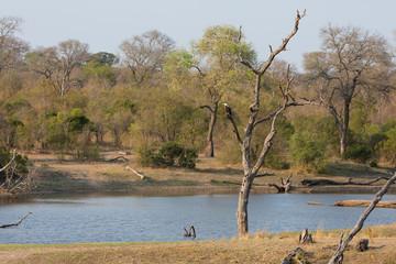 Fish eagle sit in a dead tree near waterhole in africa