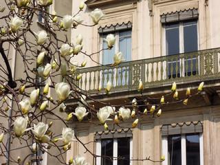 Magnolia en fleurs - Théatre des Célestin LYON 4
