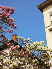 Magnolia en fleurs - Théatre des Célestin LYON 17