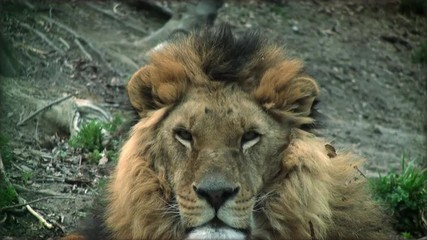 Slow motion with a adult lion on a tree trunk resting