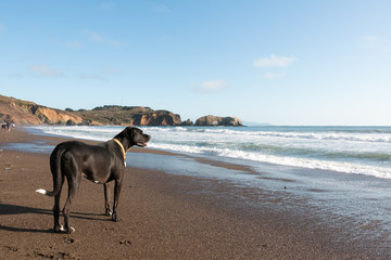 Black dog on a beach in California