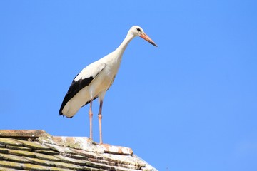 White stork on the house roof
