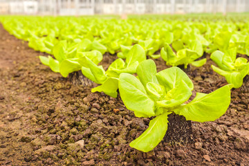 Young lettuce plants in a greenhouse