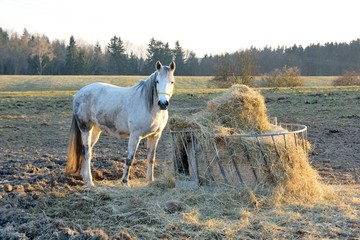 White horse at the feeder