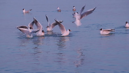 Few Gulls Float in Calm Sea Water Near the Shore at Sunset