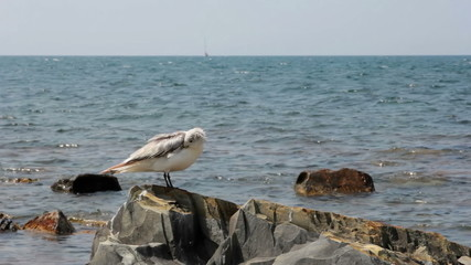 Seagull on the rocks closeup. Seascape