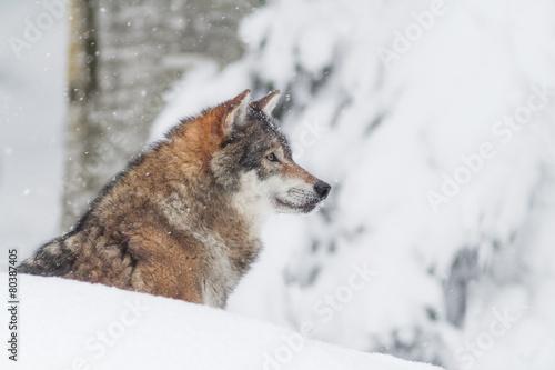 portrait grey wolf in the snow - 80387405