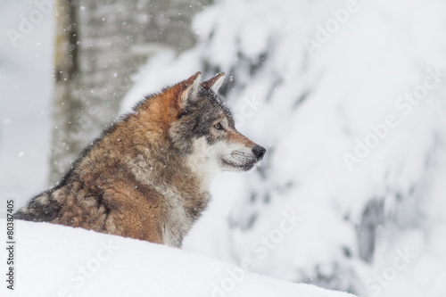 Plagát, Obraz portrait grey wolf in the snow