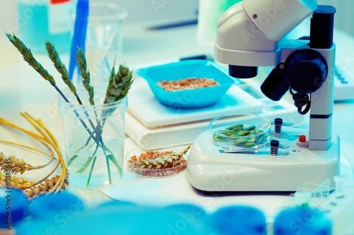 Leinwandbild Motiv Research of GMO wheat in the laboratory
