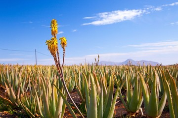 Blooming medicinal herb Aloe vera