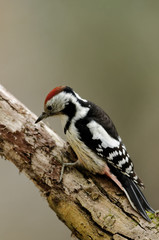 Middle spotted woodpecker sitting on the branch