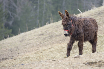 Brown donkey portrait