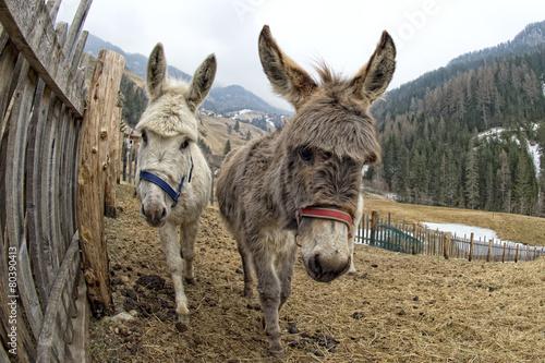 Poster Ezel white donkey portrait