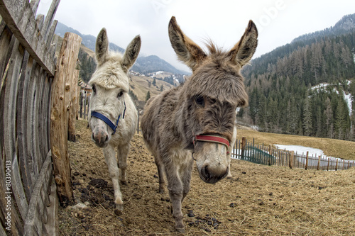 Foto op Aluminium Ezel white donkey portrait