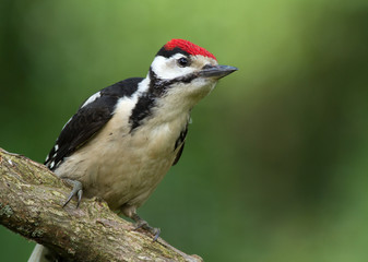 Young male great spotted woodpecker