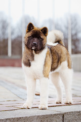 american akita dog posing outdoors