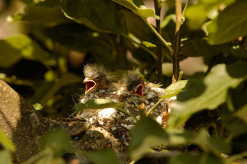Two chicks of the chaffinch in the nest