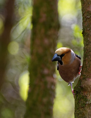 Hawfinch, male on the tree , vertical