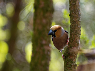 Hawfinch, male on the tree ,horizontal