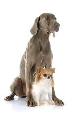 Weimaraner and chihuahua