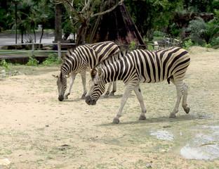 zebra in the nature