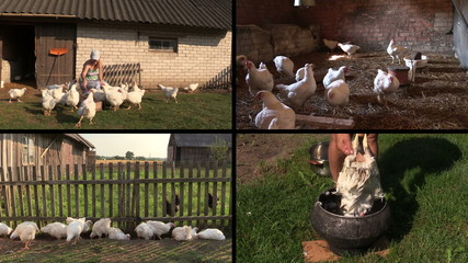 Farmer woman feed broiler and pluck feather. Video clip collage.