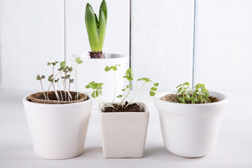 Small green sprouts of basil and mint