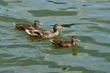 Duck family (lat. Anas platyrhynchos)