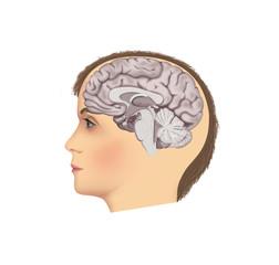 cerebro en cabeza perfil