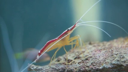 shrimp Lysmata