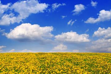 Yellow dandelion flower field .