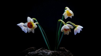 Daffodils are disclosed on black background