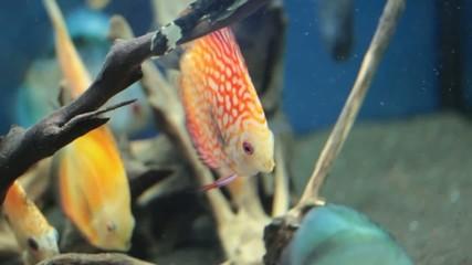 Fish - Symphysodon discus