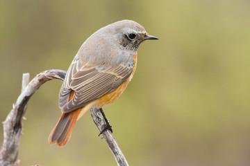 Redstart ( Phoenicurus phoenicurus ) , perched on a branch