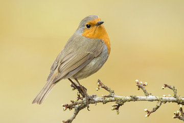 European Robin ( Erithacus rubecula ) perched on a branch