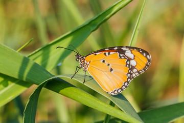 Buterfly on green grass