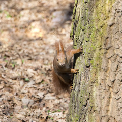Portrait of curious red squirrel